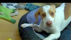 Video: il beagle gioca con il limone