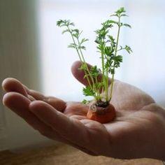 Las zanahorias son un cultivo tan fácil y común que no pretendemos que este método para conseguir que rebroten las zanahorias pueda sustituir al cultivo habitual por semillas. Pero dentro de la ser…