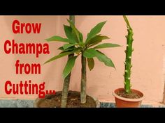 How to grow Champa from Cutting, propagating plumeria plant, how to grow plumeria from cutting Plant Cuttings, Propagation, Plumeria Tree, Make It Yourself, Youtube, Plants, Plant, Youtubers, Youtube Movies