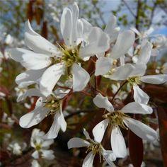 Amelanchier lamarckii Single Stem & Multi Stem Trees   Snowy Mespilus