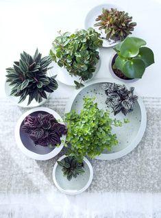 Petites beautés tropicales très différentes d'une variété à une autre, les peperomias sauront capter votre attention grâce à leur feuillage très graphique dans les tons verts...
