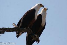 Bald Eagle, Animals, National Forest, Animales, Animaux, Animal, Animais