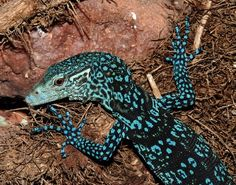 Varanus macraei, a species of monitor lizard, discovered on Batanta in 2001.