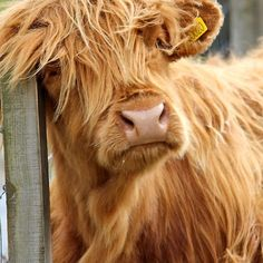 Highland Cow - We met this adorable cow while on the Isle of Skye in Scotland! My favorite moment! Scottish Highland Cow, Highland Cattle, Cow Pictures, Animal Pictures, Cow Pics, Fluffy Cows, Fluffy Animals, Farm Animals, Animals And Pets