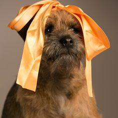 tag baxter365 1387446660 Border Terrier, Little Brown, Brown Dog, Terriers, Dogs, Terrier, Pet Dogs, Doggies