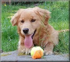Petite Golden Retriever | 1000+ images about Petite Golden Retrievers on Pinterest