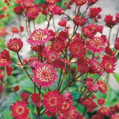 Astrantia Plant - Ruby Cloud - Perennial Plants - Garden - Dobies of Devon