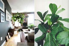 En stor stueplante med trækrone, f.eks. en flot stuebirk med krone eller et figentræ (ficus maxima)