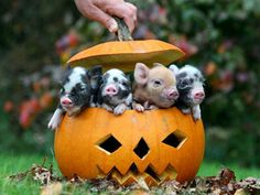 little pigs, mini pigs, teacup pigs, halloween pumpkins, baby pigs, jack o lanterns, baby animals, piglet, happy halloween