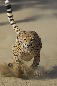 4 Amazing Unique Ideas: Cat Anatomy Skeletons cat home houses. Nature Animals, Animals And Pets, Cute Animals, Beautiful Cats, Animals Beautiful, Big Cats, Cute Cats, Jaguar, Cat Anatomy