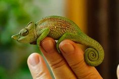 how many toes does a chameleon have - Google Search