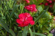 Kerti Szegfű (Dianthus caryophyllus) gondozása, szaporítása (Chabaud Szegfű, Grenadin Szegfű)