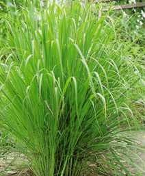 Lemon grass has a citrus flavor and is used to make tea and soups. It is becoming very popular for those looking for edible plants and even home Herb Garden, Lawn And Garden, Garden Plants, Snake Repellant, Organic Gardening, Gardening Tips, Organic Plants, Vegetable Gardening, How To Grow Lemon