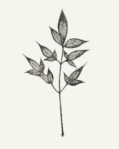Botanical Ink Drawing  8x10 print  Leaves on Stem by modpretties.
