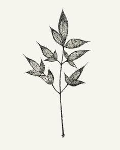 Botanical Ink Drawing  8x10 print  Leaves on Stem by modpretties.