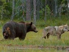 3 wolves and 2 bears clash for an elk carcass as winter approaches Fast Crazy Nature Deals. Black Bear, Brown Bear, Love Bear, Wild Dogs, Wilderness, Alaska, Vikings, Wolf, Wildlife