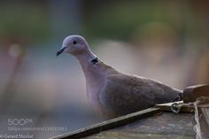 eurasian collared dove - Pinned by Mak Khalaf eurasian collared dove Animals animalanimalsbackyardbirdbirdscollared dovetreewildwildlife by gerardnicolai