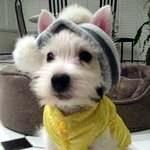 Oh the weather outside is frightful, but this westie is so delightful!