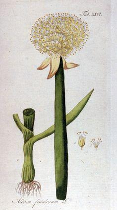 Cómo cultivar cebolletas ecológicas ecoagricultor.com