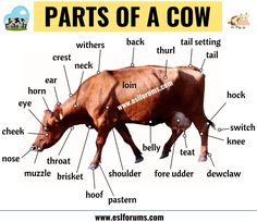 In this lesson, you will learn a list of different parts of a cow in English with ESL Picture and example sentences to enlarge your vocabulary. Teaching English Grammar, English Vocabulary Words, Learn English Words, English Phrases, English Language Learning, English Study, English Lessons, Vocabulary Cards, Parts Of A Cow
