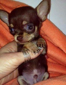 The Chihuahua is a tiny dog with a huge personality. Teacup Chihuahua Puppies, Tiny Puppies, Cute Dogs And Puppies, Tiny Dog, Doggies, Brown Chihuahua, Chihuahua Love, Beautiful Dogs, Funny Animal Pics