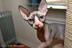 I love this beautiful Bemisu (Sphynx)... Her name is Bareskin Matea Rhae of Bemisu.