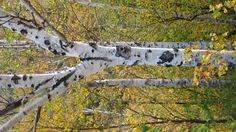 Ash trees in Fall Ash Tree, Trees, Fall, Nature, Plants, Pictures, Autumn, Photos, Naturaleza