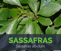Sassafras scientifically known as sassafras albidum is a deciduous tree, from the Lauraceae family and native to eastern North America and eastern Asia. Apart from Sassafras it is also known as Sas…