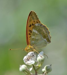 Silver-washed Fritillary(Argynnis (ex Dryas) paphia) is a common and variable butterfly found over much of the Palaearctic ecozone – Algeria, Europe, temperate Asia and Japan. Photographed by jlp184 at Bernwood Forest, Bucks, U.K. on 25th June 2014