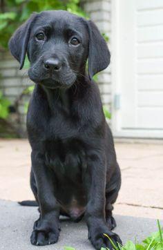 Black Labrador ❤️❤️❤️❤️ More