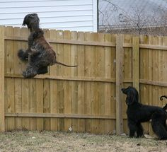 """[ our Afghan would run up to the fence & bounce off it just like this guy. That's why we named ours, """"Ricochet"""". ]"""