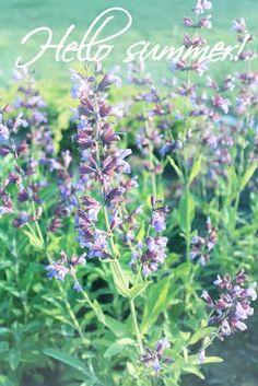 Spice of my garden: sage
