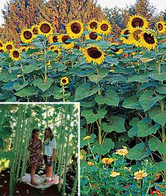 Sunflower, Sunforest Mix - Make an instant forest with gigantic sunflowers. Plant a fast growing sunflower forest where your kids can frolic. Our blend of 3 tall and sturdy varieties becomes an enchanted natural playground. Sunflower House, Giant Sunflower, Sunflower Garden, Sunflower Seeds, Forest Garden, Garden Art, Perennial Sunflower, Growing Sunflowers, Sensory Garden