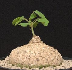 Adenia racemosa