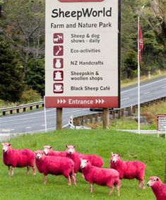 Hot pink sheep grazing the countryside north of Auckland.  The staff at SheepWorld, 65km north of Auckland, regularly colour the sheep with food dye as a gimmick.