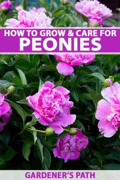Perennial peony is a garden classic. Choose from herbaceous, tree, and intersectional varieties with single, double, and semi-double blossoms in a host of striking colors. Learn the secrets to success and enjoy this spring-to-summer stunner in your beds and borders for years to come. It's all here, on Gardener's Path. #peonies #flowergardening #perennials #gardenerspath