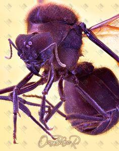 Queen Leaf Cutter ant, Atta cephalotes