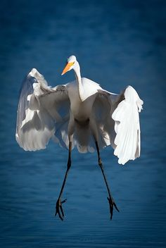 a very ungraceful picture of a usually beautiful bird....Valter Patrial