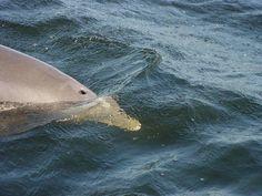 Panama City Beach, Florida Dolphin!