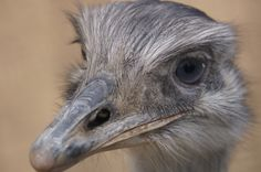 Ostrich or Emu HR