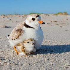 Piping Plover and chick, and wave-skittering addition to the seashore.