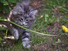 Norwegian Forest Cat Kitten | Cattery Thokepie | The Netherlands | www.kittentekoop.nl