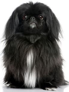 All Black Pekingese   Pekingese Dog. Highly suitable for the elderly in apartments, not very ...