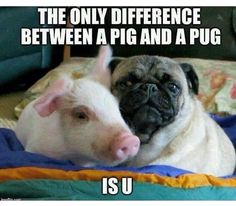 The only difference between a pig and a pug is U ~ Animal Rights