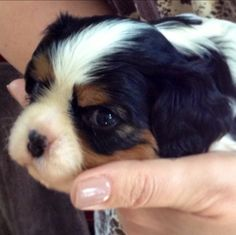Sleepy sweet pea!!! A baby Tricolor Cavalier King Charles Spaniel puppy.