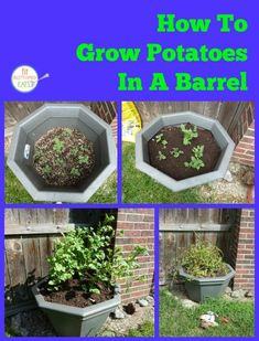 How to Grow Potatoes in a Barrel – Fit Bottomed Eats Planting Potatoes, Grow Potatoes, Eco Garden, Garden Ideas, Garden Art, Container Gardening, Gardening Tips, Vegetable Gardening, Potato Barrel