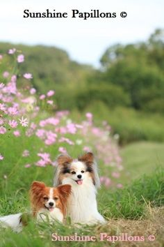 papillons playing in flowers