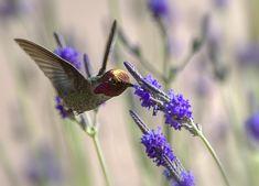 Little Humminbird