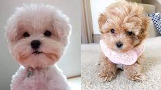 Teacup Maltipoo, Maltipoo Dog, Yorkie Dogs, Maltipoo Rescue, Cavapoo, Maltese Dog For Sale, Maltese Poodle Mix, Small Dogs For Sale, Small Poodle
