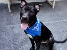 TO BE DESTROYED - 09/08/14 Manhattan Center -P  My name is DERBY. My Animal ID # is A1012541. I am a male black and white pit bull mix. The shelter thinks I am about 1 YEAR   I came in the shelter as a STRAY on 08/31/2014 from NY 10472, owner surrender reason stated was STRAY.